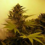 Hybrid cannabis leaf