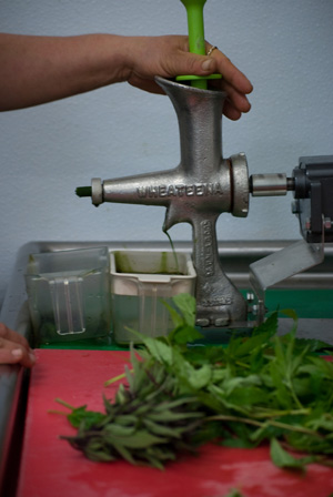 Juicing raw fresh cannabis.