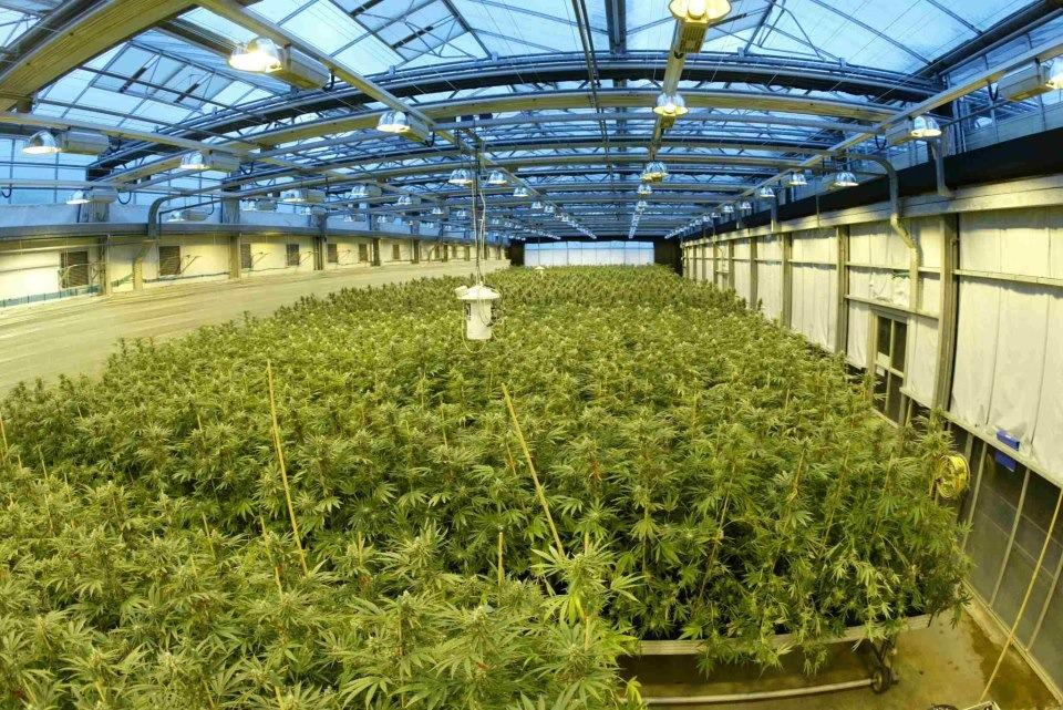 Geoffrey Guy's huge cannabis skunk factory located at GW Pharms's legal grow room.