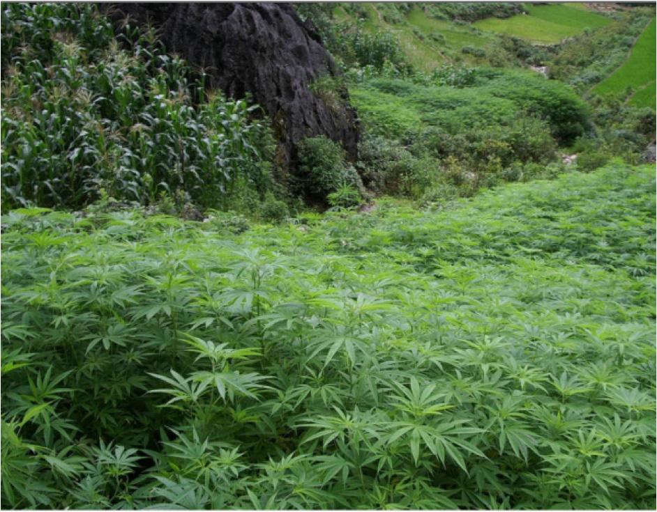 A ganja field.