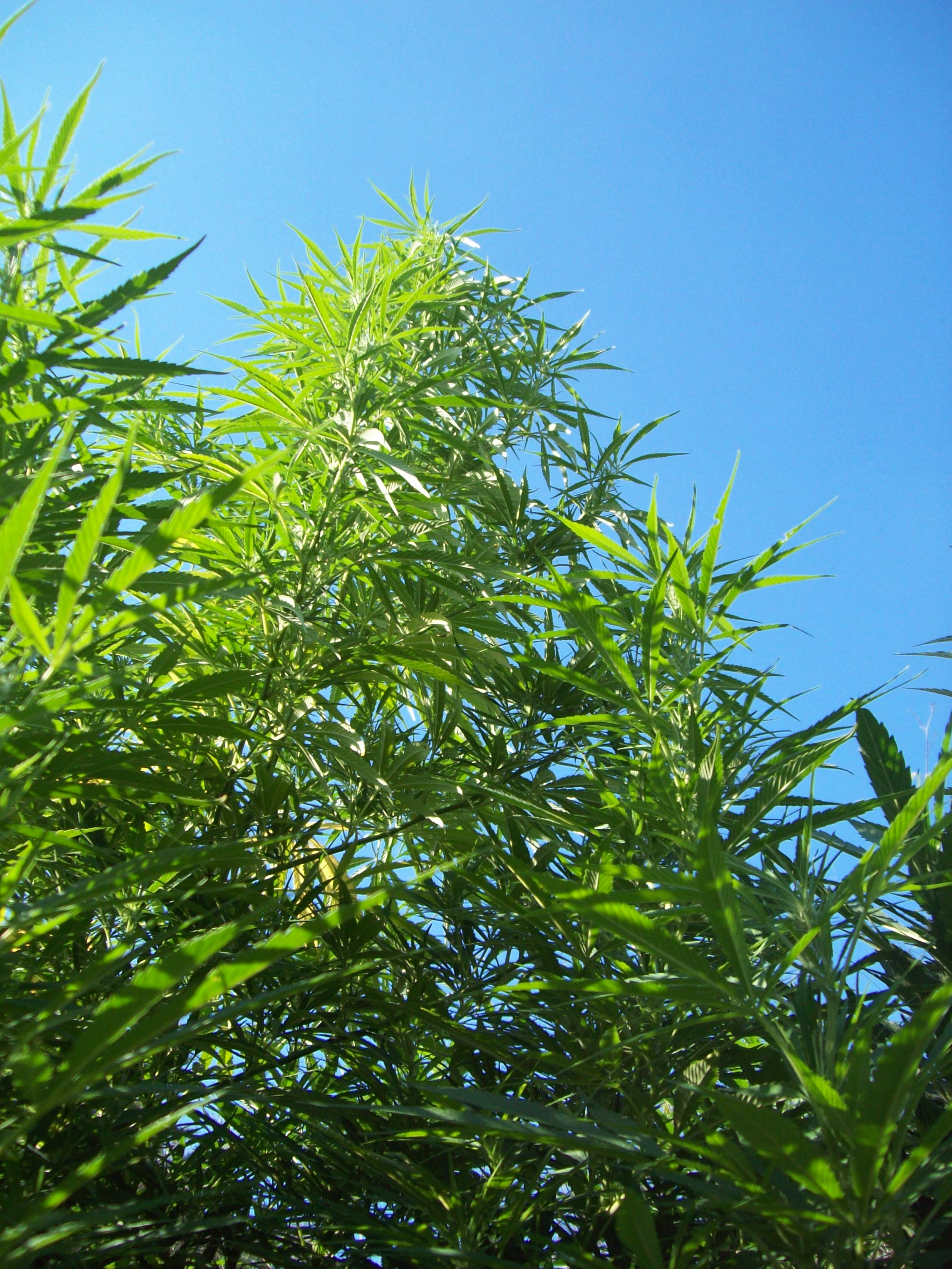 Cannabis Plant... not legal in the UK and not available on prescription