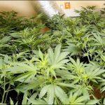 cannabis-growroom