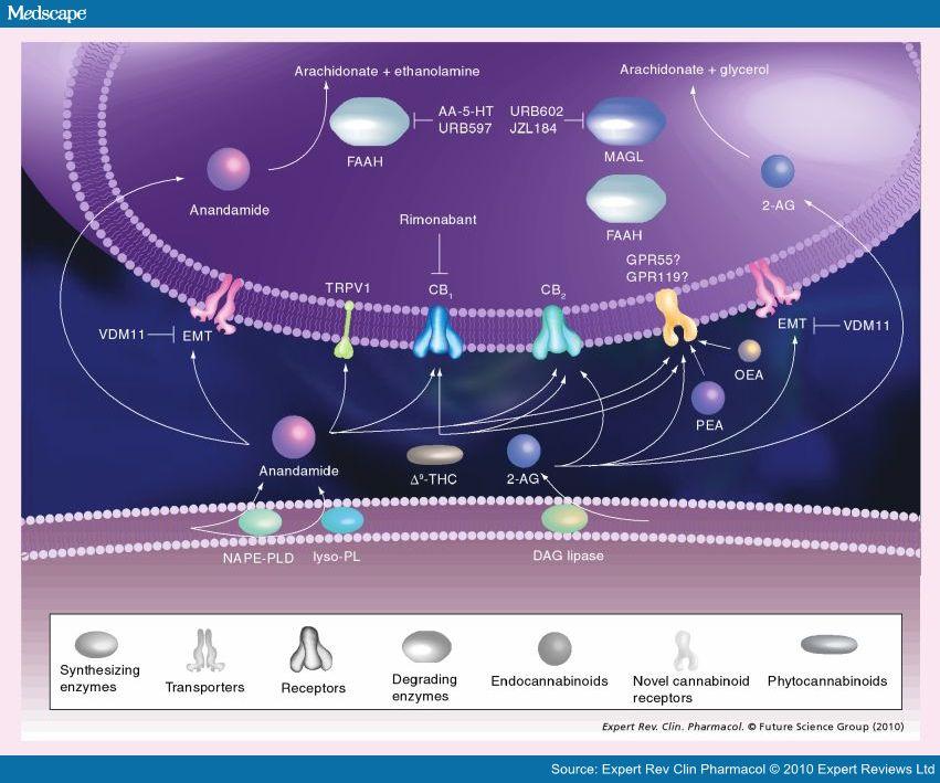 The endocannabinoid system (ECB).