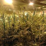 Should cannabis growers be treated as criminals?