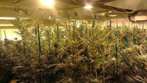 Should cannabis cultivation in the UK be a criminal offence?