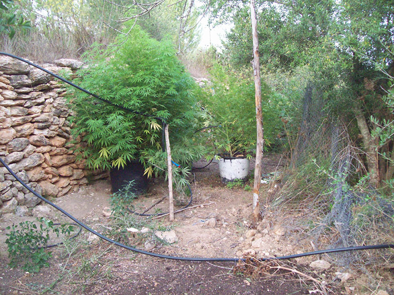 Outdoor cannabis plants in Spain.